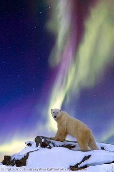 Aurora Borealis swirls across the sky over a polar bear standing on a rock on the tundra, Alaska