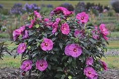 Summerific® 'Berry Awesome' - Rose Mallow (Hibiscus) - . This hardy perennial (hardy to zone 4) has a perfect habit, beautiful dinner plate sized lavender pink blooms and super dark olive green foliage. Brings a tropical look to a northern garden! Hands down my favorite hardy hibiscus.