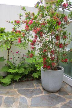 Ondanks dat de Callistemon eigenlijk net was uitgebloeid, oogstte hij toch alom bewondering op de open tuinendag. (foto: ByMarloesThuis)