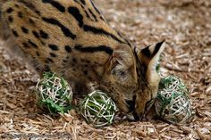 Zoo volunteers created some Easter-inspired enrichment items for our animals at Werribee Open Range Zoo. The treats hidden inside the items were part of the daily enrichment program at the Zoo, which includes a range of activities and items to provide variety and encourage problem-solving and foraging behaviors.