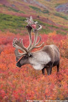 Rangifer tarandus,Bull Caribou in Denali National Park, Alaska