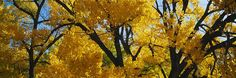 Low Angle View Of Cottonwood Trees http://www.walls360.com/seasons-wall-graphics-s/2002.htm