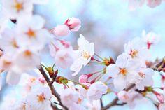 depositphotos_41188461-Sakura-tree.jpg (1023×682)