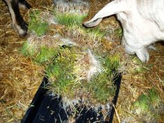 Finally!  My dairy goats are energetically enjoying the Fodder that I'm growing for them.  I was beginning to wonder if my efforts in buildi...