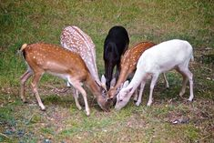 I'm in San Antonio looking out the window of the time share and there are deer walking about under a sprawling oak tree. Beautiful Creatures, Animals Beautiful, Baby Animals, Cute Animals, Animal Kingdom, Goblin, Cute Babies, Deer, At Least