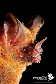 frog-eating bat (Trachops cirrhosis) ~~ apparently, ALL bats are not adorably cute!