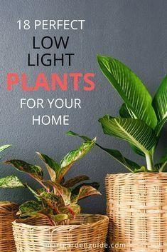 18 large low light houseplants to bring your home to life. These larger plants w… | 1000 - Modern#bring #home #houseplants #large #larger #life #light #modern #plants