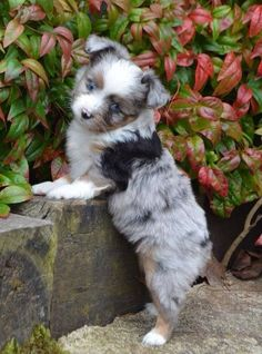 76 Best Australian Shepherd Mix Puppies