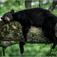 The symbol of the Smokies, the American Black Bear, is perhaps the most famous resident of the park. Great Smoky Mountains National Park provides the largest protected bear habitat in the East. Though populations are variable, biologists estimate approximately 1,500 bears live in the park, a density of approximately two bears per square mile. Photo: Charlie Choc (http://ift.tt/18oFfjl) August 28, 2014 at 08:04AM via Instagram http://ift.tt/1AXzkS0