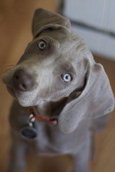 Weimeraner puppy!!!
