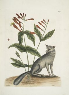 Gentiana, The Indian Pink; Vulpis, The Grey Fox. From New York Public Library…