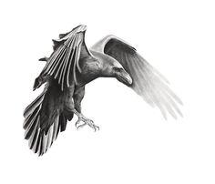 Raven. Pencil on paper.