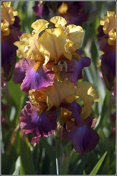 Iris 'Gala Madrid': Photo by Earl Reinink  even you could grow these. irises are great beginner plants that come in so many colors