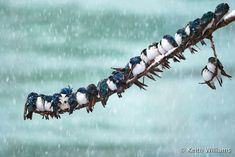 Tree swallows huddling against a late spring snow.