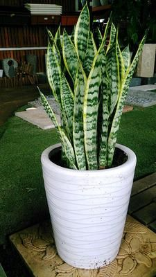10 Houseplants That Can Survive Darkest Corner of Your House - Home Tropical Garden Plants Ideas For You Home DecorIdeas que mejoran tu vidaThe Snake Plant: Sansevieriea trifasciataIf you don't have a home or office with lots of sun, find Sansevieria Trifasciata, Outdoor Plants, Garden Plants, Porch Plants, Balcony Gardening, Plants Indoor, Decoration Plante, Low Light Plants, Container Gardening