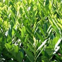 Laurier-palme (Fiches plantes)