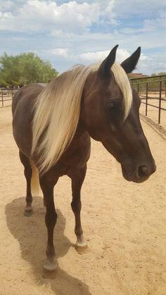 Horses - Rocky Mountain horse - Beautiful color!