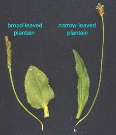 http://weeds.massey.ac.nz/weeds.asp?pid=65   Plantain weeds