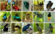 Fifteen of the 39 species of birds of paradise