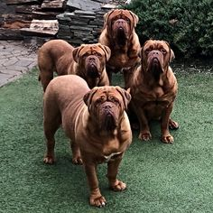 Everything About The Dignified Awesome Mastiffs Exercise Needs Giant Dog Breeds, Giant Dogs, Best Dog Breeds, Best Dogs, Mastiff Breeds, Mastiff Dogs, French Bull Mastiff, French Bulldog, I Love Dogs