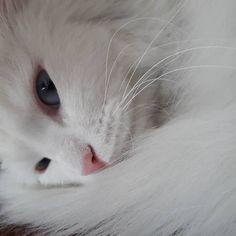 Chapichapochatpapo encore un nouveau chat blanc ! Cat Tunnel, Balls, Electric, Tower, Hair, Pictures, Animals, White Cats, Siamese Cat