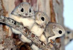 MOMONGAS // Japanese dwarf flying squirrels