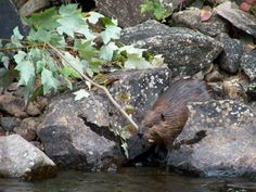 Beaver in the Oswegatchie River