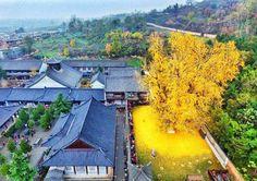 La couleur dorée de cet arbre est naturelle. - SCMB Images