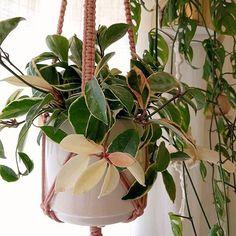 Variegated hanging hoya grow care guide https://www.houseplant411.com/houseplant/hoya-plant-how-to-grow-care-tips