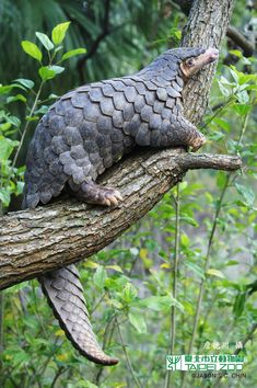 Pangolins are the most trafficked mammals in the world, and the Chinese pangolin may be the most endangered of them all. The species is heavily hunted within China for its meat, which is considered a delicacy, as well as for its skin and scales which are used in traditional medicine.