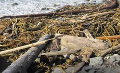 Kelp, on Tofino beach, Vancouver Island