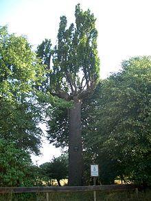Schöne Eiche (Harreshausen) – Wikipedia