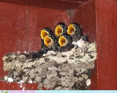 """""""FEED ME"""" x5 - #nest #baby #birds #family #cute #feed #hunger #food #mother"""
