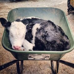 Hump day feels!!! Tag a friend to brighten their #Wednesday! #calf #adorable #sleepylittlecow #humpday