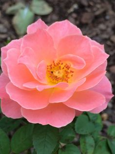 Friday WOW! The Van Lear Rose