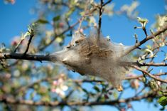 This is a guide about getting rid of tent caterpillars. Caterpillars can be very destructive to your trees and garden. Here are tips to preventing this pest.