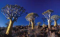 Namibia wildlife, wildlife Namibia, namib desert, Namibia, Namibia tourism, interesting facts about Namibia, welwitschia, halfmens, quiver tree, quiver tree Namibia, baobab, baobab tree, baobab namibia