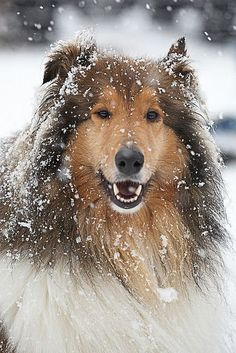 Wow, this Collie is absolutely breathtaking on this snowy day!