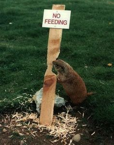 Beavers do not feed.