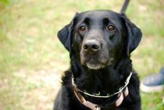 Ruth Female Black Lab with Houndhaven in Minneola  4 yrs 88 lbs  no info on small dogs or kids no email sent