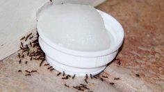 Si quieres que desaparezcan las hormigas de tu casa solo unta un algodón con esto y moriránMi casa siempre está llena de hormigas, pero cuando puse este algodón untando de esto en las esquinas todas murieron de inmediato. ¡adiós bichos! ¡qué ingenioso!