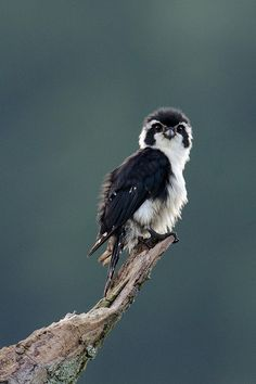 libutron: Pied Falconet - Microhierax melanoleucos Members of the genus Microhierax (Falconiformes - Falconidae) are the smallest of falcons. This species, Microhierax melanoleucos, grows up to 20 cm and has a maximum wingspan of 37 cm. Some individuals of the Pied Falconet have a thin white line across the base of the cere, over the eyes and down to the breast giving the appearance of a white face with large black eye patches. The Pied Falconet is found in the forests of Bangladesh, China…