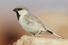 desert sparrow passer simplex - Google Search