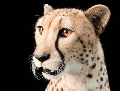 photo by @joelsartore | Say #hello to Hasari a federally #endangered three-year-old cheetah at the White Oak Conservation Center in #Florida. #Follow me to see more members of the #PhotoArk. #photooftheday #joelsartore by natgeo