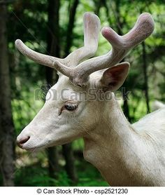 albinos, jachère, cerf - csp2521230