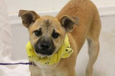 NAME: Major & Captain  ANIMAL ID: 25222674-2670  BREED: terrier mix  SEX: male  EST. AGE: 6 mos  Est Weight: 15-18 lbs  Health: heartworm neg  Temperament: dog friendly, people friendly.  ADDITIONAL INFO: RESCUE PULL FEE: $69 (each)  Intake date: 3/23  Available: 3/29