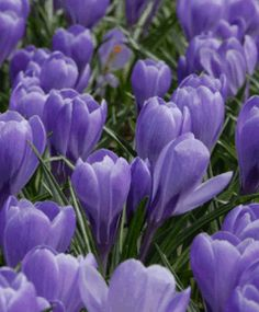 3f70be2003071e Selections from the John Scheepers Beauty from Bulbs Dutch Flower Bulbs  Catalog crocus vernus grand maitre