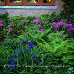 A front yard landscape design detail in early June. English Ivy growing on the house. The grouping is made up of Rhododendron, Fern, Astilbe, Iris and Lamium.   Landscape, garden design and construction services in the NY and NJ areas.  Summerset Gardens Elegant Landscape Design, Fine Workmanship   845-590-7306  http://www.summersetgardens.com