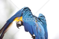 colourful bird balancing on a branch - Blue and Yellow Macaw using its wings to balance itself in a twig.