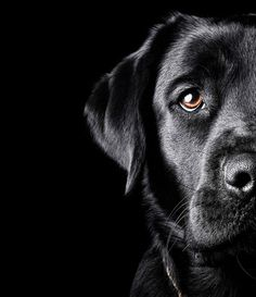 Black Lab - Rokai